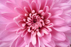 Close up of flower dahlia for background Royalty Free Stock Images