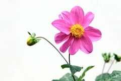 Compositae flower Royalty Free Stock Image