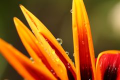Close up of flower with dew Stock Photography