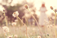 Close up flower in field with blur young woman Royalty Free Stock Photo