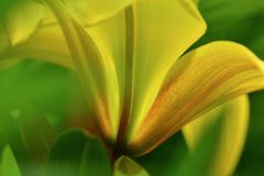 A close-up photo of a beautiful yellow lilium; unusual point of view and nice backlight. Close-up; flower; floral; unusual point of view and nice backlight royalty free stock image