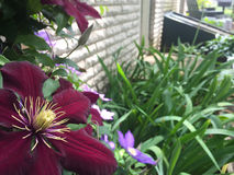 Close Up of Flower in Flower Bed. Close up of beautiful wine colored flower in flower bed Royalty Free Stock Images