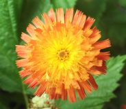 Fox and cubs English native plant flower Royalty Free Stock Image