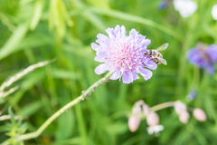 Close up of a flower in a garden with a bee ants and vine louse on the flower stock photography
