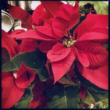 Poinsettias. Close-up on flower head of Poinsettia plant royalty free stock photos