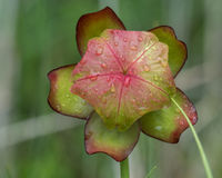 Close up of Flower Head of a Wild Pitcher-Plant Stock Photography