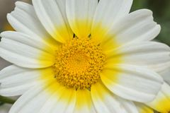 Close up flower head. Yellow flower head, pollen day, white, nature Royalty Free Stock Images