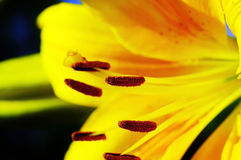 Close-up flower of lily. stock photography