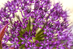 Close up of flower onion flowers in garden, summer time. Stock Photography