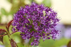 Close up of flower onion flowers in garden, summer time. Stock Image