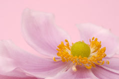 Close-up flower on pink background Royalty Free Stock Image