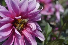 Close up flower pink violet with bees royalty free stock photos