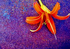 Orange lily, blurry textured surface. Close up of flower on purple rusty background