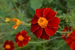 Red ace. Close up of a flower on the red ace Bush. Potentilla Fruiticosa Royalty Free Stock Images