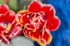 Close up of a flower with red petals and white border with yellow flash royalty free stock image