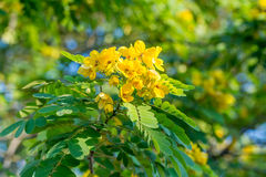 Close-up of flower of Scrambled Egg Tree - Senna surattensis (Burm.f.) under sunlight. Stock Photo