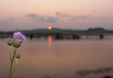 Close-up flower thistles by the river on summer setting sun back Royalty Free Stock Photography