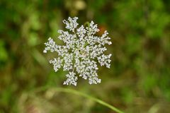 Detail of Queen Anne`s lace flower. A close-up of the flower of the wild carrot, Daucus carota, also known as Queen Anne`s lace or birdsnest. There is a tiny stock photos