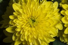 Close-up of the flower yellow gerbera. Macro photography royalty free stock images