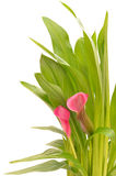 Close up flower Zantedeschia Royalty Free Stock Photography