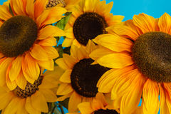 Close-up of flowered sunflowers Stock Photos