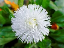 English daisy white blossom topview. Close-up of the flowerhead of a white English daisy, Bellis perennis, blooming in spring Royalty Free Stock Photo