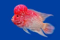 Close up Flowerhorn Cichlid fish Stock Photography