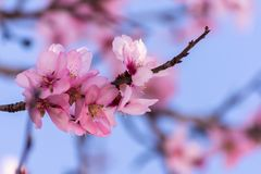 Close up of flowering almond trees. Beautiful almond blossom on the branches, at springtime background in Valencia, Spain. Colorful natural background stock image