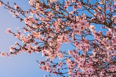 Close up of flowering almond trees. Beautiful almond blossom on the branches. Spring almond tree pink flowers with branch and blue. Sky outdoors. Nature stock photo