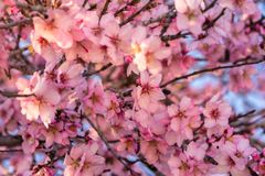 Close up of flowering almond trees. Beautiful almond flower blossom, at springtime background. Beautiful nature scene with. Blooming tree and sun flare. Spring royalty free stock photo