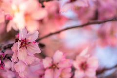 Close up of flowering almond trees. Beautiful almond flower blossom, at springtime background. Beautiful nature scene with. Blooming tree and sun flare. Spring royalty free stock photography