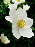 Close-up flowering Anemone Stock Image