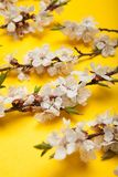 Close-up, a flowering branch of apricot stock photo