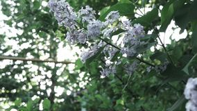 Close-up flowering branch of a lilac flower on a bush. Branches move in the wind against the background of the shining. Video of a lilac bush with flowers close stock video footage