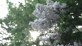 Close-up flowering branch of a lilac flower on a bush. Branches move in the wind against the background of the shining. Video of a lilac bush with flowers close stock footage
