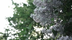 Close-up flowering branch of a lilac flower on a bush. Branches move in the wind against the background of the shining. Video of a lilac bush with flowers close stock video