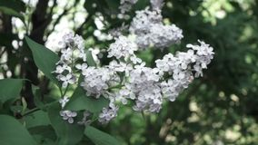 Close-up flowering branch of a lilac flower on a bush. Slow panoramic video. Soft focus and beautiful bokeh, Full HD. A panoramic video of a lilac bush with stock video footage