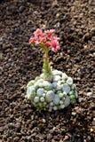 Close up of flowering cactus plant Stock Photos