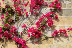 Close-up of flowering creeper on the wall Stock Photo