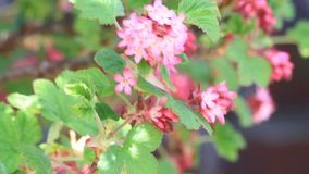 close up Flowering Currant in spring, Blutjohannisbeere stock video