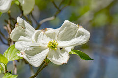 Close-up of a Flowering Dogwood Tree Royalty Free Stock Image