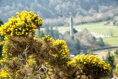 Flowering Gorse and Glendalough Backdrop. Close up of flowering gorse bush with Glendalough round tower blured in background royalty free stock image
