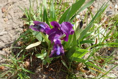 Close up of flowering Iris tectorum in spring Stock Images