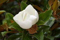Close up of flowering magnolia Royalty Free Stock Photography