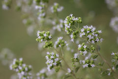 Close-up of Flowering Oregano Stock Photography