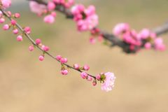 Flowering plum. The close-up of flowering plum. Scientific name: Amygdalus triloba stock photography