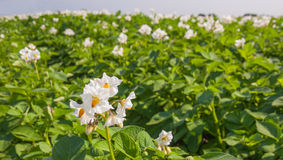 Close-up of a flowering potato plant. Blooming potato plant against a blurred large field of other plants stock images