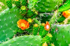 Close up of a flowering Prickly Pear Cactus in the Little Karoo Region of the Western Cape Province. In South Africa Royalty Free Stock Photo