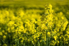 Close Up Flowering Rapeseed Canola Or Colza In Latin Brassica Napus, Plant For Green Energy And Oil Industry, Rape Seed Stock Photos