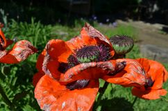 Close-up of red poppies stock photos